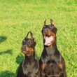 Stock Photo: Couple of amazing playing dobermans