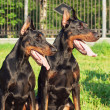 Couple of amazing black dobermans - Stock Photo