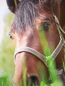 Portrait of beautiful grazing horse closeup — Stock Photo