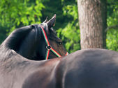 Wonderful black trakehner stallion — Stock Photo