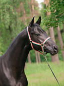 Portrait of wonderful black stallion — Stock Photo