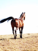 Bay horse in the spring field — Stock Photo