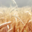 Spikelets of wheat, illuminated by bright sunshine — Stock Photo #5468107