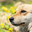 Portrait of a beautiful dog — Stock Photo #6107357