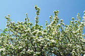 Flowering cherry on a background of blue sky — Stock Photo