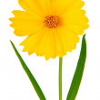 Coreopsis flowers - Latin Coreopsis ferulifolia, isolated on a w — Stock Photo