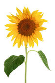 Sunflower isolated on a white background — 图库照片