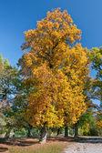 осеннее дерево — Стоковое фото