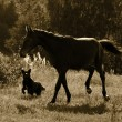 Stock Photo: Horse and dog