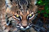 Bobcat — Stock Photo