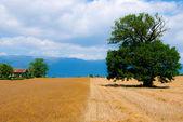 Tree on grain field — Stock Photo