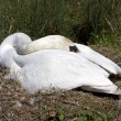 Stock Photo: Breeding swan