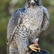 Falcon — Stock Photo #5837697