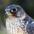 Stock Photo: Falcon