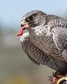 Falco — Foto Stock