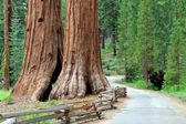 Giant Sequoias — Stock Photo