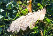 Suché dubové listí s jinovatka — Stock fotografie