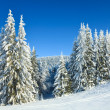 Winter spruce trees - Stock Photo