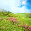 Rhododendron flowers in summer mountain - Stock Photo