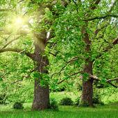 Grandes árvores de avião e sol — Foto Stock