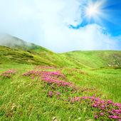 シャクナゲの花夏の山 — ストック写真
