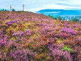 Summer heather flower hill and misty morning country view behind — Stock Photo