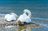 Swans pair on summer lake — Stock Photo