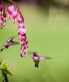 Humming bird feeding — Stock Photo