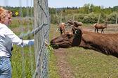 Woman hand feeding an Elk — Stock Photo