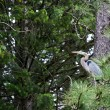Great Blue Heron — Stock Photo #6080290