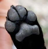 Puppy paw close-up — Stock Photo