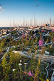 Fireweed growing on dead logs — Stock Photo