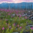 Sunset in fireweed field — Stock Photo