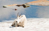 Happy mountain goat — Stock Photo