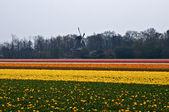 Holländische mühle hinter und multi farbige tulpenfeld in der netherlan — Stockfoto