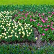 Stock Photo: Spring time in park with blooming tulips and common grape hyacin