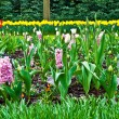 Spring time in park with blooming tulips and common grape hyacin - Stock Photo