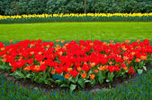 Spring time in park with blooming tulips and common grape hyacin — Stock Photo