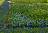 Field full with purple Hyacinths in Holland . — Stock Photo