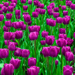 Purple  tulips in a field . — Stock Photo