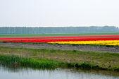 Flower fields . Netherlands. — Stockfoto