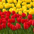 Red and yellow tulips . tulips . — Stock Photo