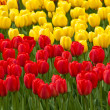 Stock Photo: Red and yellow tulips . tulips .