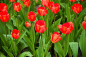 Red tulips . — Stock Photo