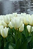 White tulips . — Foto Stock