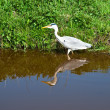 Stock Photo: Grey Heron .