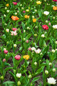 Colorful tulips . — Stock Photo