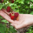 Raspberries in the women's hand — Stok fotoğraf