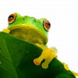 Frog peeking out from behind the leaf — Stock Photo #6627398