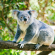 Cute koala in its natural habitat of gumtrees — ストック写真 #6627505